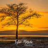 59  G Oysterville Sunrise Tree