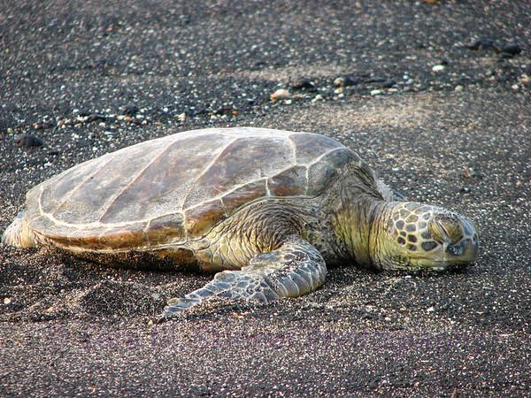 Tortuga on Hawaiian Shores  (1)