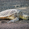 Tortuga on Hawaiian Shores  (1)
