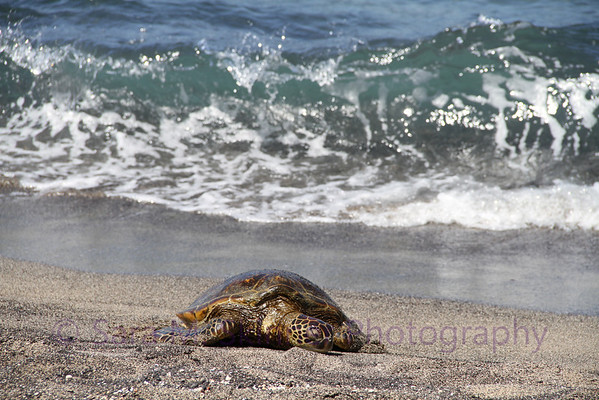 Tortuga on Hawaiian Shores  (3)