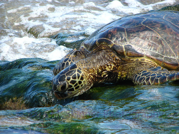 Tortuga on Hawaiian Shores  (10)