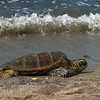 Tortuga on Hawaiian Shores  (5)