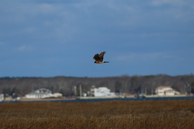 A hawk flies near Dune Road.
