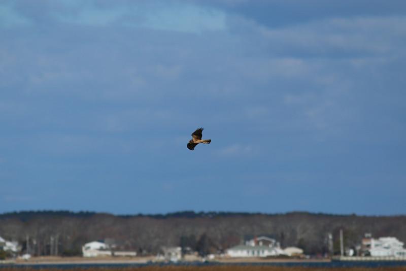 A hawk flies near Dune Road.