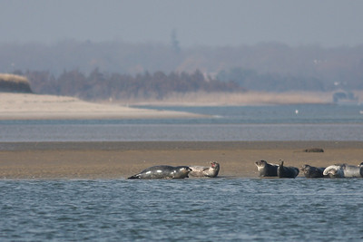 Seals at Cupsogue.