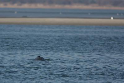 Seals at Cupsogue.
