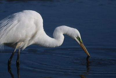 Random Dune Road wanderings. A great egret.