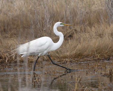A great egret on Dune Road.