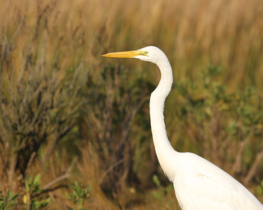 A great egret on Dune Road, Hampton Bays, NY.