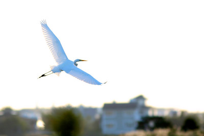 A great egret in flight. Beach Lane Bridge, Westhampton Beach, NY.