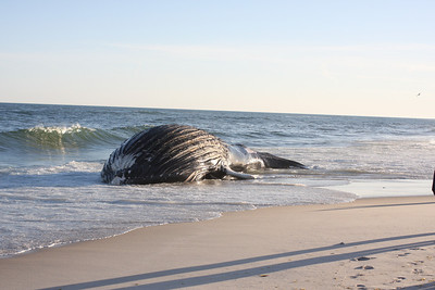 A humpback whale - Istar - washes up on the shore near Triton Lane, East Quogue, NY.