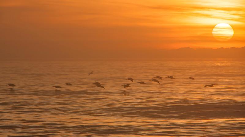 Sunrise Pelicans