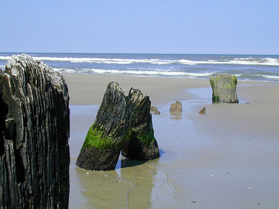 Stumps at Currituck Beach, NC