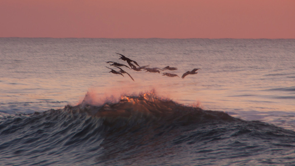 Pelicans rise over the crest of a wave, sunrise, North Carolina.
