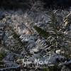 233  G Snowy Ferns