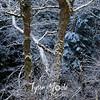 227  G Snowy Trees