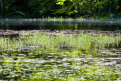 Chattfield hollow, chatfield hollow, lilly pads, lake, pond, water, grass, grasses, State park, CT. fun, summer