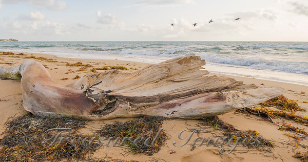 PR-Driftwood-w-pelicans-in-flight-g-5620-flattened-20x38