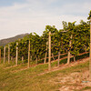 Okanagan / Lake Country - Gray Monk vineyards.