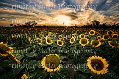 Sunflower Field, Jamesport