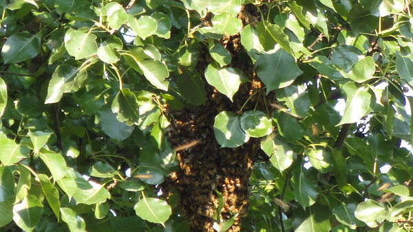 Bees - August 31 2011
