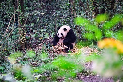 Panda from West China by Hong