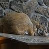 Rescued Bobcat
