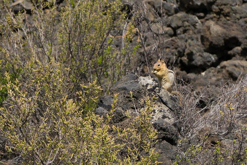 Golden Ground Squirrel