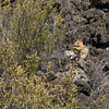 Golden Ground Squirrel