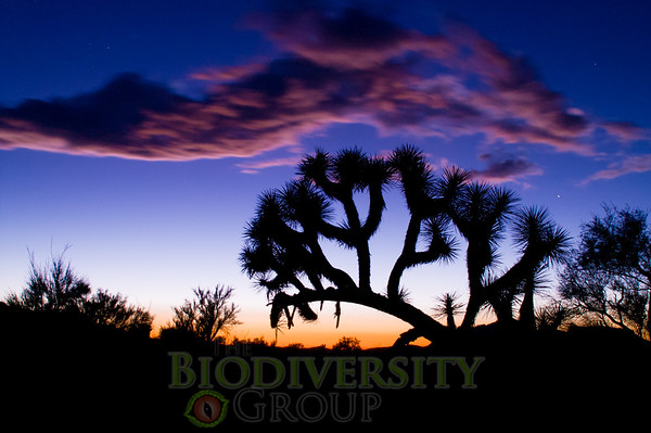 Biodiversity Group, AZ Joshua Trees-0226