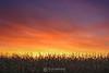 Children of the corn, Shakopee MN