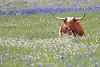 Longhorn in bluebonnets