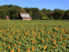 Old barn with sunflowers