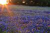 Bluebonnets at sunset