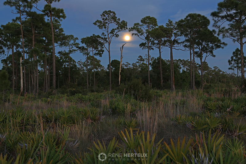 Saw palmetto  moonrise