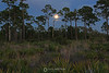 Saw palmetto  moonrise