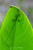 Green anole on leaf
