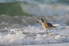 Willet in surf