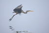 Great blue heron flying in the fog