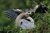 Great blue heron chick begging for food