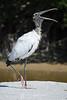 Wood stork yawning