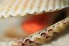 Calico scallop macro