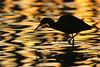 Heron silhouette in sunrise