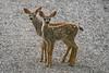 IMG_0520 New fawn twins at home(By Kent Van Vuren)