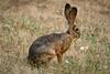 IMG_0528 Resident jack rabbit (By Kent Van Vuren)