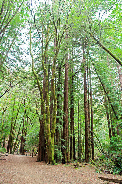 Redwoods, Dawn Falls Trail, Marin County