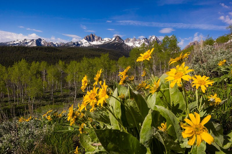 Balsamroots, Aspens, and the mighty Sawtooth Mountains, Idaho