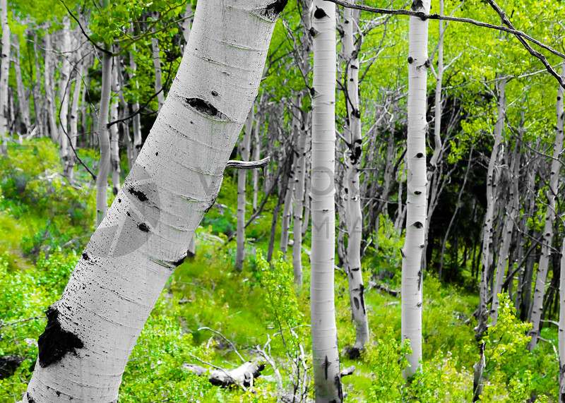 Aspen Grove in Spring, Sawtooth Mountains, Idaho
