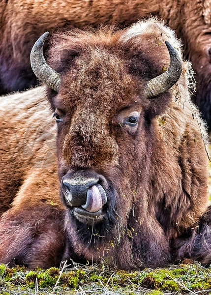 Bison Close-Up, Yellowstone N.P.