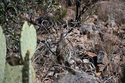 Camouflaged Roadrunner